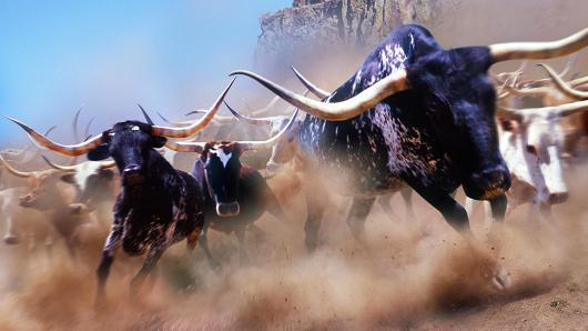 stampede-cows